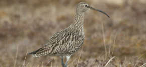 Northern Upland Chain Local Nature Partnership supports RSPB Curlew campaign