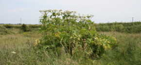 Experts warn of toxic Giant Hogweed following a 40% increase in North West