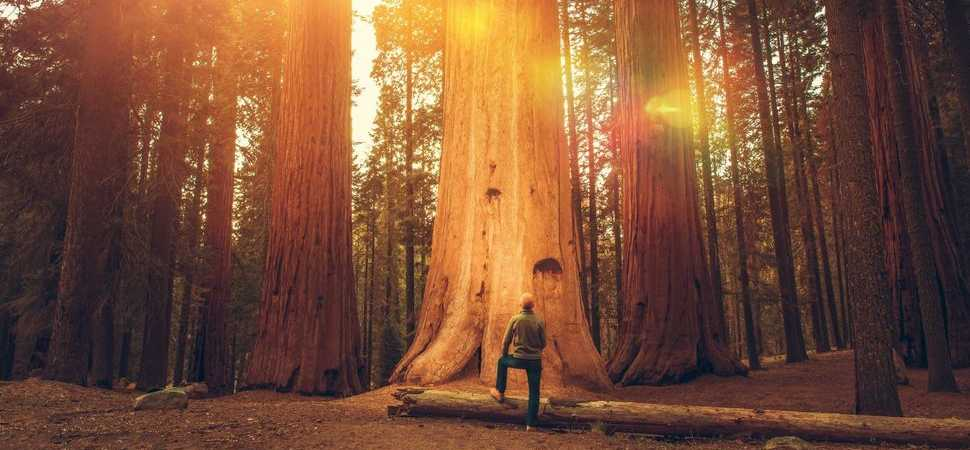 A Giant Green Initiative - Revive Management Plants Giant Sequoias to go Carbon Negative