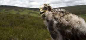 Northumberland a haven for hen harriers once again