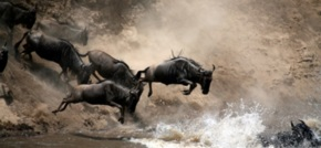 Why you need to think like a wildebeest to survive in business